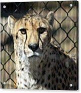 Cheetah Alert Acrylic Print