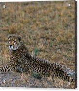 Cheetah At Rest Acrylic Print