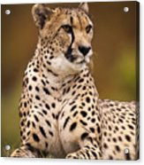 Cheetah Beauty Acrylic Print