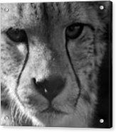 Cheetah Black And White Acrylic Print