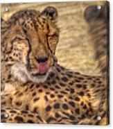 Cheetah Cattitude Acrylic Print