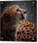 Cheetah Closeup Portrait Acrylic Print
