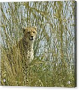 Cheetah Cub In Grass Acrylic Print