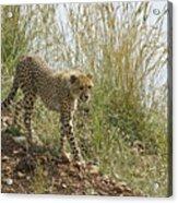 Cheetah Exploration Acrylic Print