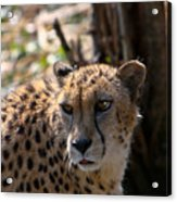Cheetah Gazing Acrylic Print