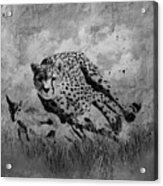 Cheetah Hunting Deer  Acrylic Print