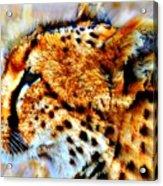 Cheetah IIi Acrylic Print