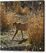 Cheetah  In The Brush Acrylic Print by Douglas Barnett