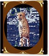 Cheetah Lean And Mean Acrylic Print