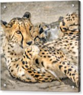 Cheetah Lounge Cats Acrylic Print