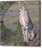 Cheetah Meditating Acrylic Print
