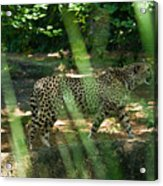 Cheetah On The In The Forest Acrylic Print by Douglas Barnett