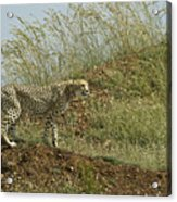 Cheetah On The Prowl Acrylic Print