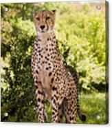 Cheetah Overlook Acrylic Print
