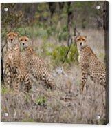 Cheetah Party I Acrylic Print