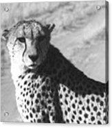 Cheetah Pose Acrylic Print