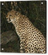 Cheetah Watching Acrylic Print