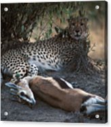 Cheetah With Kill Acrylic Print