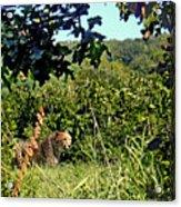 Cheetah Zoo Landscape Acrylic Print