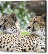 Two Cheetahs Acrylic Print
