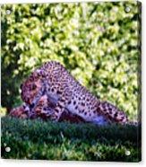 Cheetahs In Love Acrylic Print
