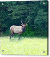 Cherokee Elk Acrylic Print