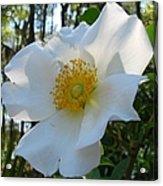 Cherokee Rose 1 Acrylic Print