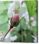 Cherokee Rose Of Dover Acrylic Print