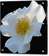 Cherokee Rose On Black Acrylic Print