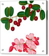 Cherries And Cherry Blossoms Acrylic Print