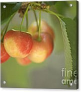 Cherries Hanging On A Branch Acrylic Print