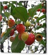 Cherries In The Morning Rain Acrylic Print