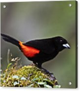 Cherrie's Tanager Acrylic Print by Heiko Koehrer-Wagner