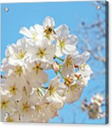 Cherry Blossom And A Bee Acrylic Print