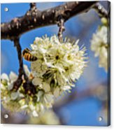 Pear Blossom And Bee Acrylic Print