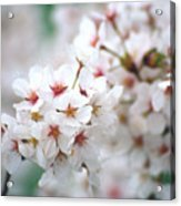 Cherry Blossom Close-up No. 6 Acrylic Print