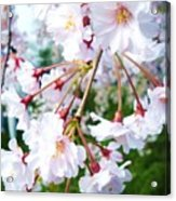 Cherry Blossom Closeup Acrylic Print