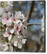 Cherry Blossom Cluster Acrylic Print