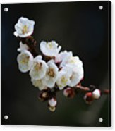 Apricot Blossom I Acrylic Print