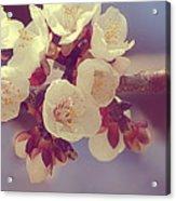 Apricot Blossom II Acrylic Print