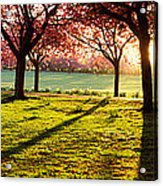 Cherry Blossom In A Park At Dawn Acrylic Print