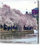 Cherry Blossom In Washington D C Acrylic Print