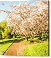 Cherry Blossom Lane Acrylic Print