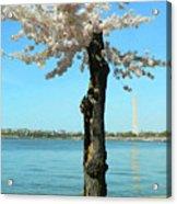 Cherry Blossom Portrait Acrylic Print
