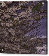 Cherry Blossom Sky Acrylic Print