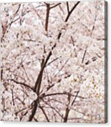 Cherry Blossom Spring Acrylic Print by Ariane Moshayedi