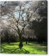 Cherry Blossom Sunshine Acrylic Print by Pierre Leclerc Photography