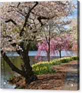Cherry Blossom Trees Of Branch Brook Park 17 Acrylic Print