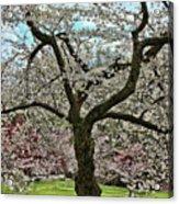 Cherry Blossom Trees Of Branch Brook Park 31 Acrylic Print