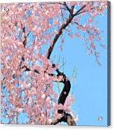 Cherry Blossom Trilogy IIi Acrylic Print
